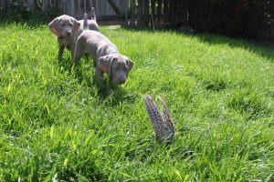 weimaraner puppies pointing